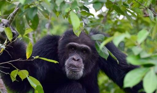 Congo gorilla operators